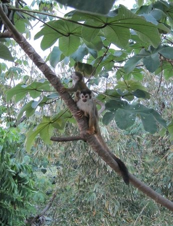 La Mariposa Hotel: Mother and baby Capuchin monkey - picture taken while sitting at the bar