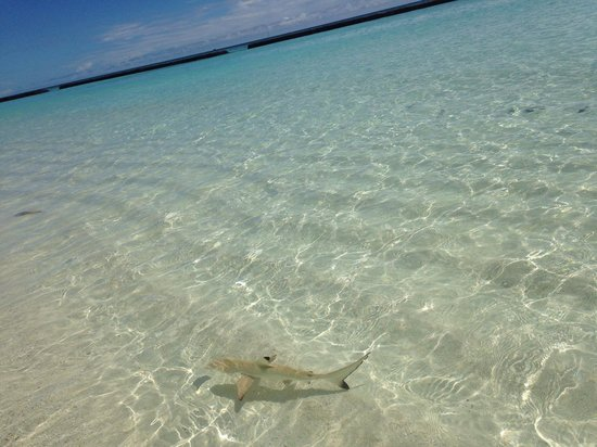 Kuramathi Island Resort: A baby shark swam all day every day in front of our DBV...we were hooked watching it