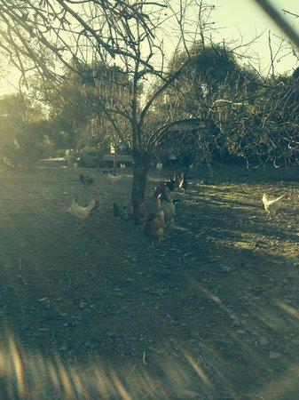 Taray Botanico: Corral con gallinas