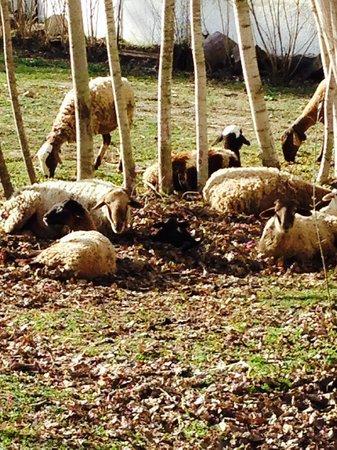 Taray Botanico: Ovejas de la finca