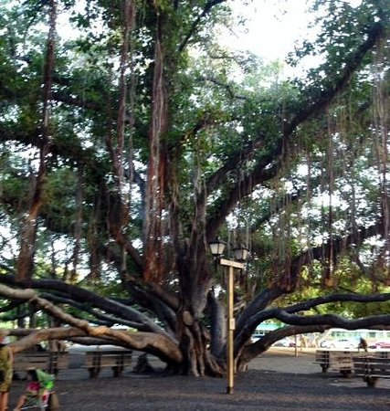 Banyan Tree Park : Beautiful Banyon Trees