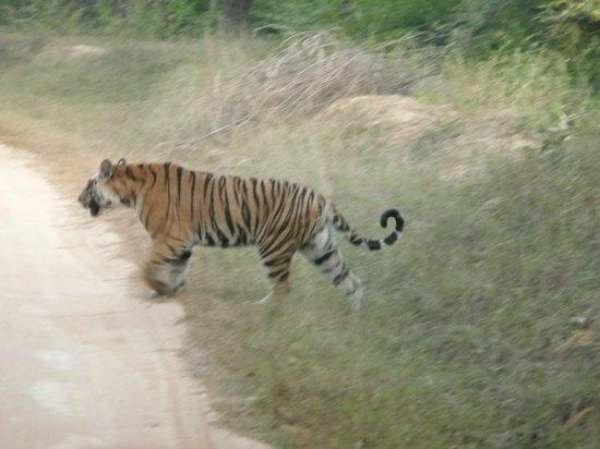 """Tiger's Den Resort: Tigre : Safari """"Porte 2"""""""