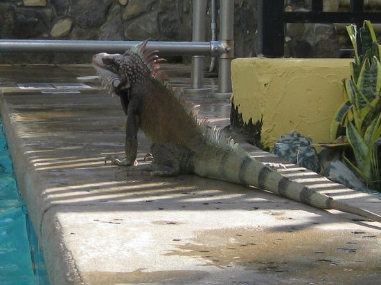 Marriott's Frenchman's Cove: Don't be afraid of the Iguanas! Don't feed them and avoid wearing red polish on your toes.