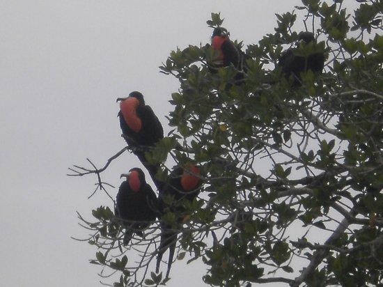 Everglades Area Tours : Frigate birds, not a common sight
