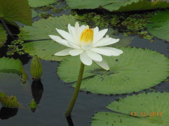 Naples Botanical Garden : gorgeous water plants