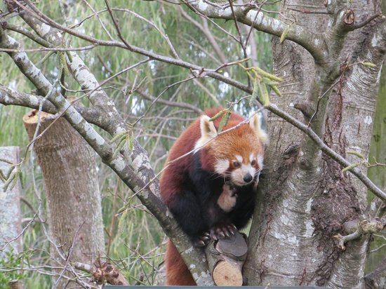 Auckland Zoo : They have two exhibits with Red Pandas in them!