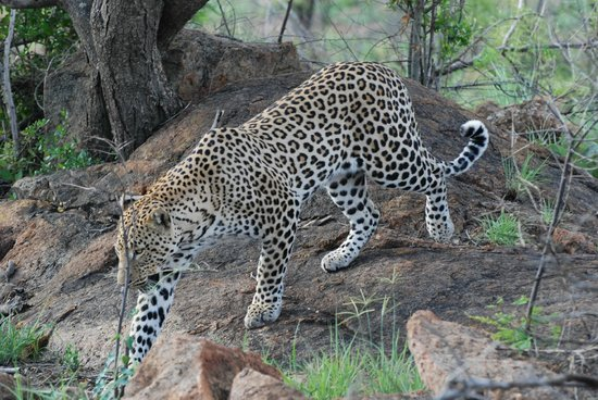 Tambuti Lodge: Leopard - 17th December 2013