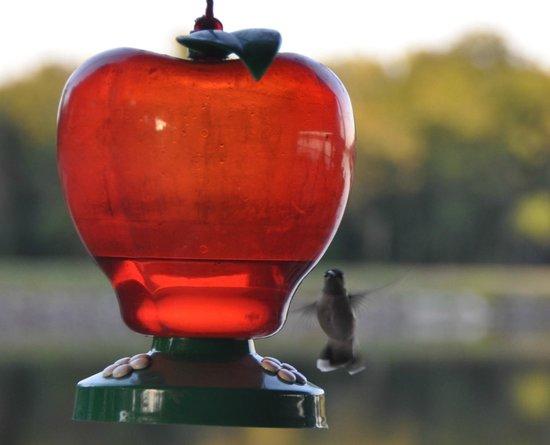 Perryville, AR: Hummingbirds