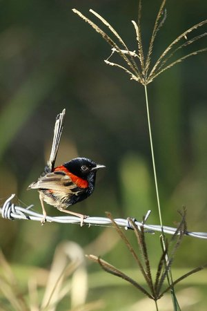 Cave Rock Cottages : red backed fairy wren