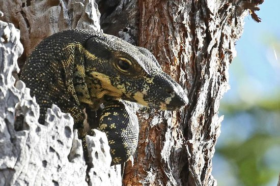 Cave Rock Cottages : lace monitor