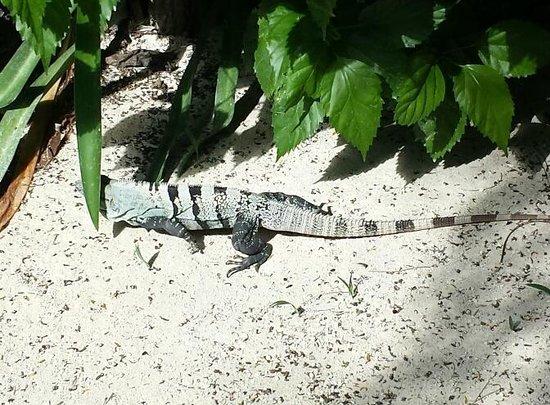 Hotel Jashita: An iguana passing by