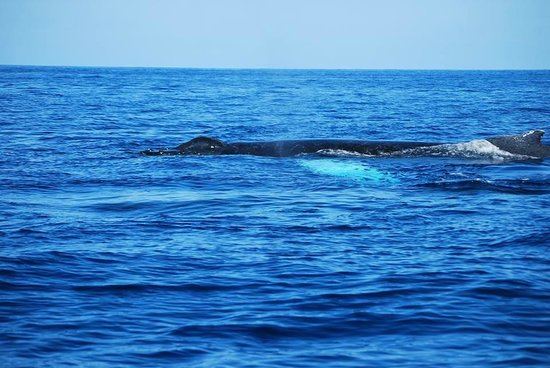 Coral Reef Snorkel Adventures : A Humpback swimming close to the surface.