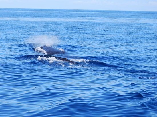 Coral Reef Snorkel Adventures: A Humpback spouting close to the surface