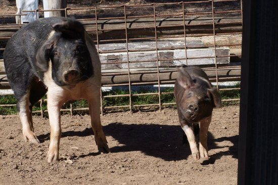 The Oaks Ranch and Country Club: Pigs