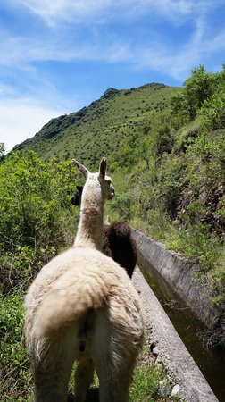 Llama Pack - Day Tours : Leading the llamas to their pasture on the mountain