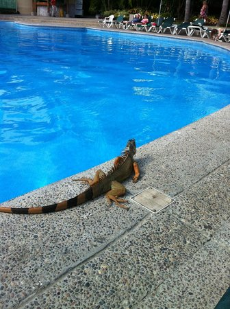 Mayan Palace Mazatlan: Iguanas are known to hop into the pool for a quick swim