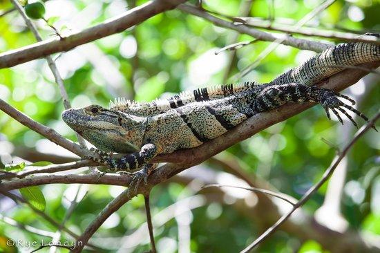 Cabinas Calocita : Green Iguana