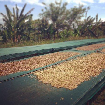 Finca Rosa Blanca Coffee Plantation Resort : Coffee bean tour