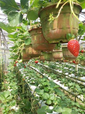 Copthorne Hotel Cameron Highlands: strawberry farm
