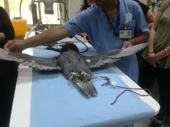 Abu Dhabi Falcon Hospital : Falcon mani/pedi
