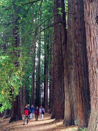 Hamurana Springs Nature Reserve: Giant Redwood Forest