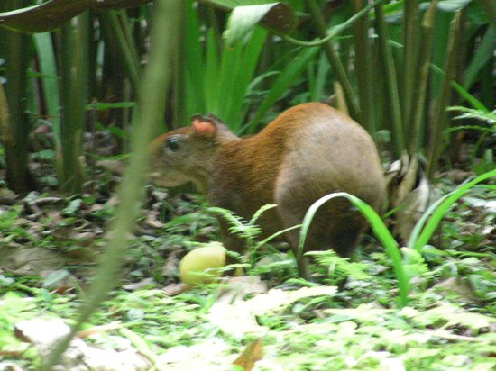 Hotel Shawandha Lodge : Aguiti foraging next to our balcony