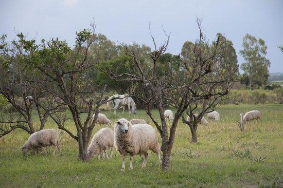 Blancarena Lab: sheep