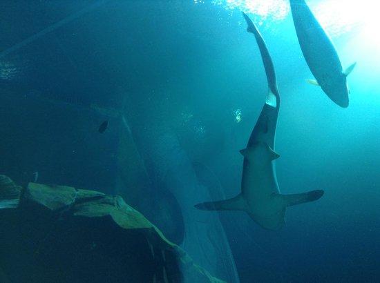 Georgia Aquarium: Tubarões e peixes