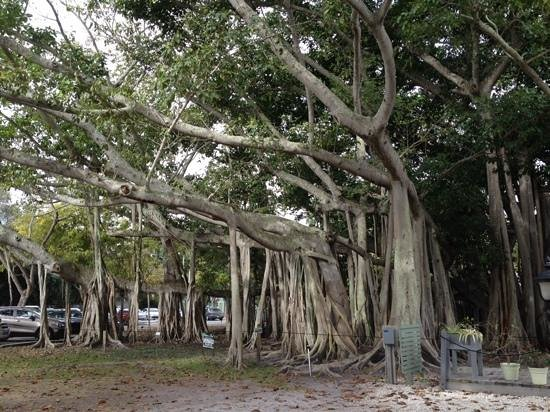 Edison & Ford Winter Estates: the largest fig tree in the continental US..over an acre!