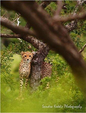 Thanda Safari Lodge: Cheetah at Thanda