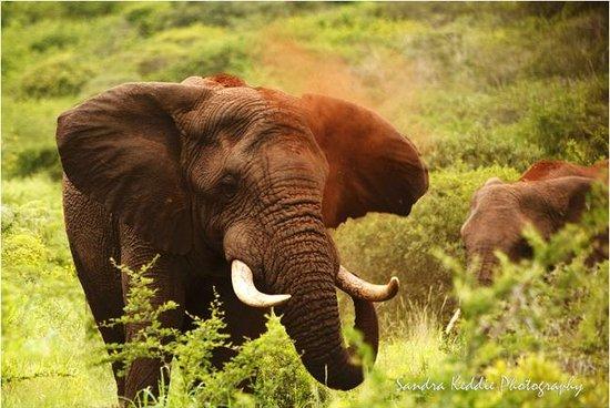 Thanda Safari Lodge: Elephant at Thanda