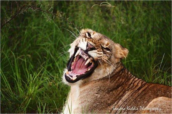 Thanda Safari Lodge: Lion at Thanda