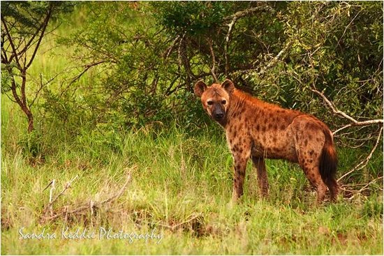 Thanda Safari: Hyena at Thanda