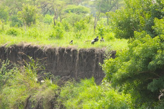 Singita Faru Faru Lodge: The colubos monkey on the Grumeti River.