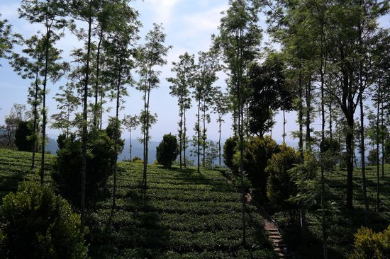 Dream Catcher Plantation Resort : view from the tree house of the surrounding tea plantation