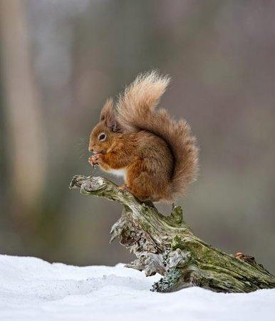 Rothiemurchus: Red Squirrel having lunch