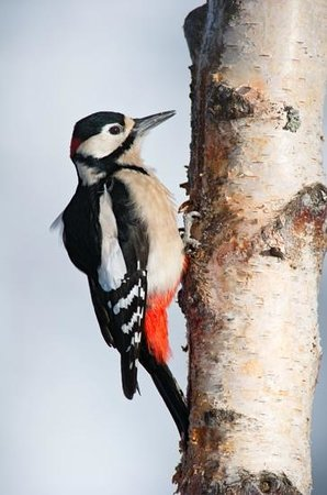 Rothiemurchus: Great Spotted Woodpecker