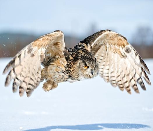 Rothiemurchus: European Owl