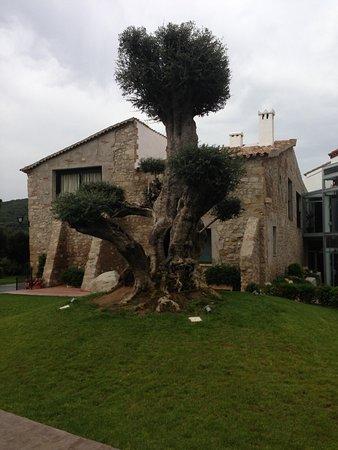 Hotel Can Galvany: Ulivo centenario con effetto scenico