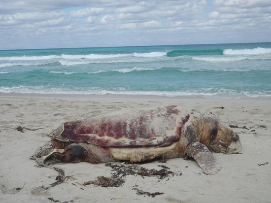Hotel Club Tropical: Tortuga Turtle washed up - locals buried it not long after this pict.