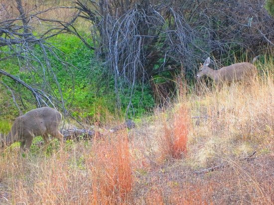 Ramsey Canyon Preserve : Deer on the trail