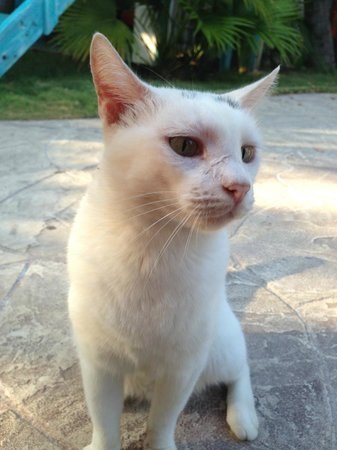 Boardwalk Hotel Aruba: One of the cats that lives at the hotel...friendly and my daughter couldn't get enough of them.