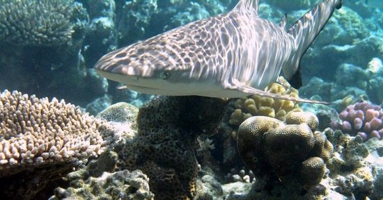 Embudu Village: Schwarzspitzenriffhai