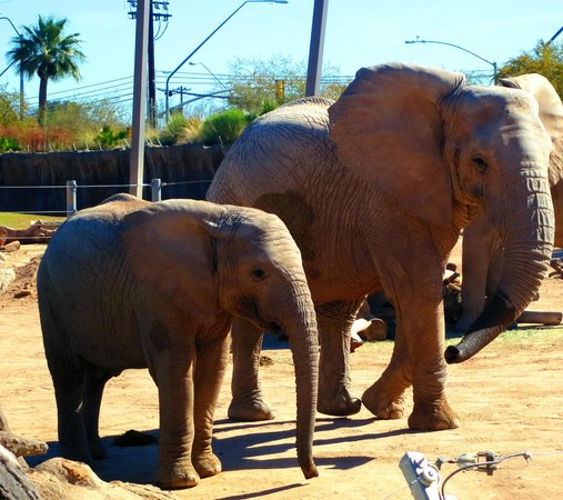 Reid Park Zoo : Juvenile and female elephants