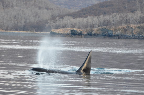 Spirit of Alaska Wilderness Adventures Lodge: Orca bull spouting