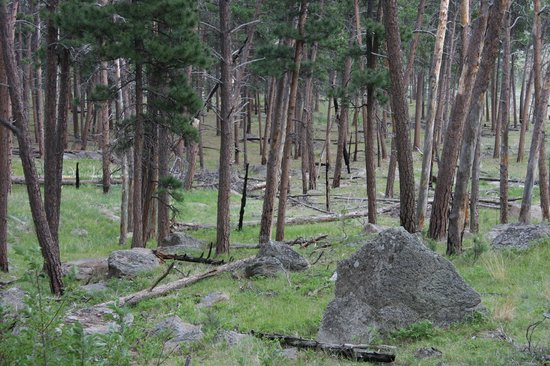 Devils Tower National Monument : Pine forest viewed from the trail