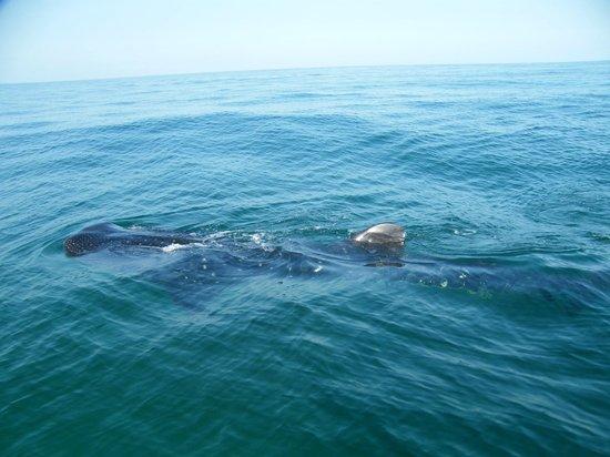 Mawimbi Whale Sharks Tour : Beauty of a Whale Shark