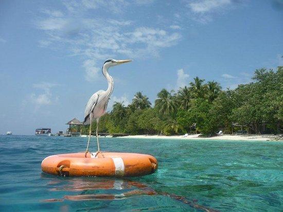 Vilamendhoo Island Resort & Spa : Maître nageur