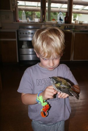 Peel Forest Homestays: A local shining cookoo flew into a window and is comforted by a young guest