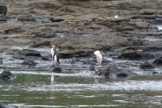Curio Bay Natural Heritage Centre: Yellow eyed penguins on the rock platforms